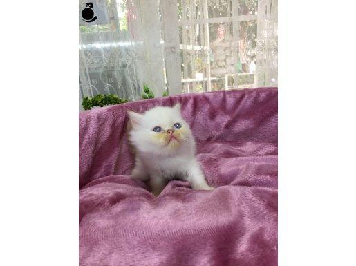 Mavi Gözlü Beyaz ve Gri iran kedileri