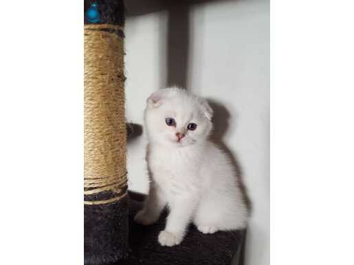 Silver shaded efsane güzellikte kediler