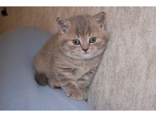 Anne Altından British Shorthair Yavru Kediler