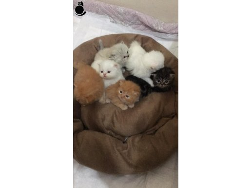İran Chinchilla kedi yavruları(Rezerveye açık)