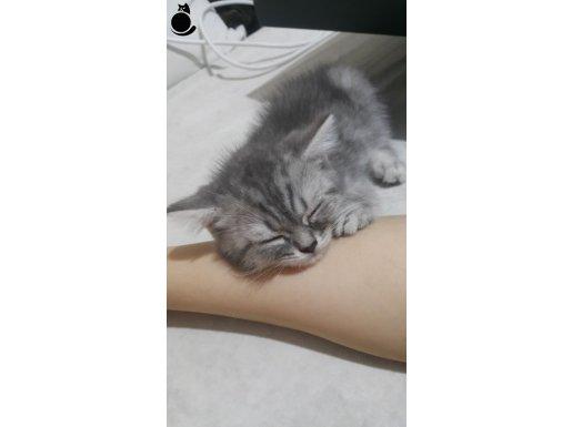 Anne altından sağlıklı safkan sevimli kedilerimiz :)