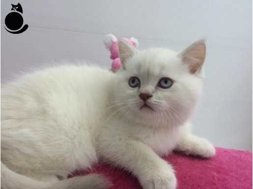 blue poınt british shorthair