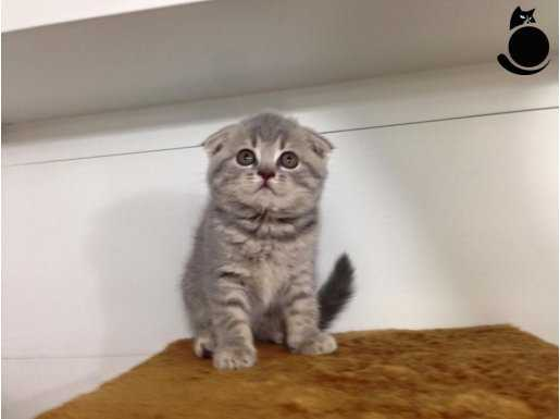 silver scottish fold