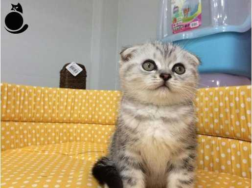 silver scottish fold yavrusu