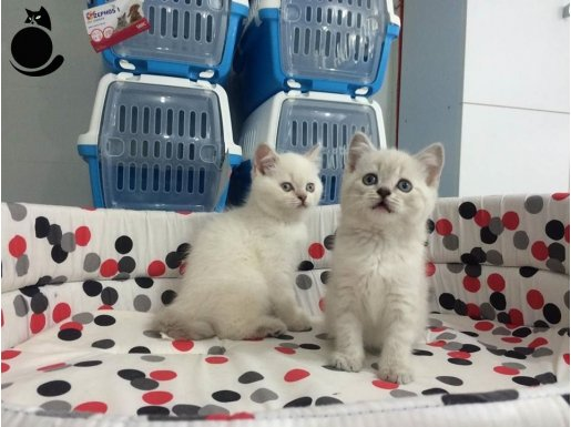 LYNX POINT british shorthair