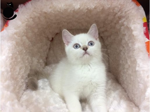 LYNX POINT british shorthair YAVRULARI