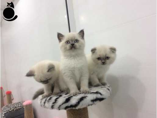 blue poınt scottısh_british shorthair
