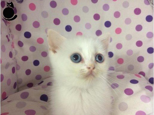 beyaz mavi gozlu british shorthair