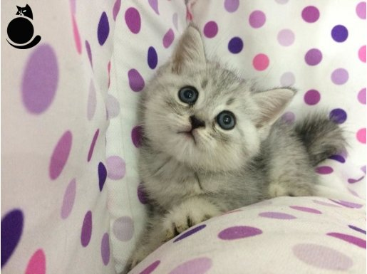 silver tabby british shorthair