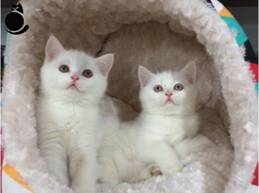 beyaz british shorthair yavrularımız