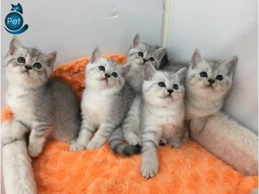 silver british yavrularımız