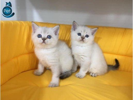 lynx poınt british shorthair yavrularımız