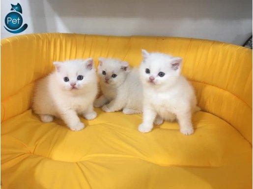 kar beyaz british shorthair yavrularımız