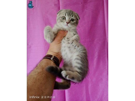 scottish fold silver tabby