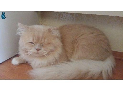 Asil kedi