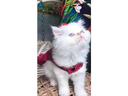 İran Kedileri En Güzel En Duru Güzelim
