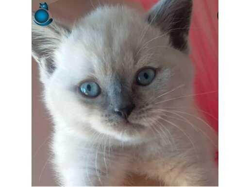 Bluepoint mavi gözlü erkek