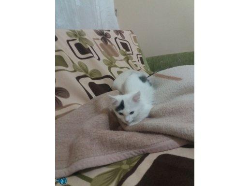 Munchkin kedisi 3 aylık dişi