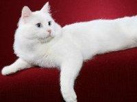 Satılık Ankara Kedisi Fiyatları Yavru Kedi Ilanları ücretsiz